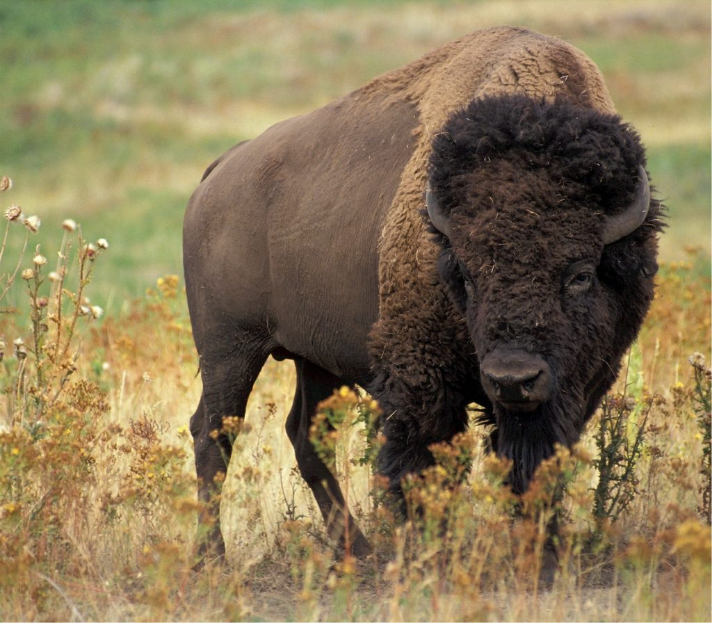 Best Recurve Bows For Buffalo Hunting